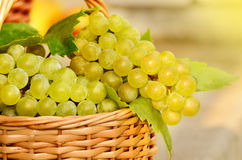 Grape harvesting. Wicker basket full of green grapes at harvest time Stock Photos