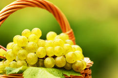 Grape harvesting Royalty Free Stock Images