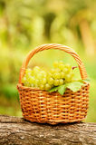 Grape harvesting Royalty Free Stock Photo