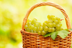 Grape harvesting Royalty Free Stock Image