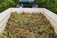 Grape harvesting, grape inside cart royalty free stock photos