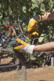 Grape harvesting. Near Brindsi, South Italy Royalty Free Stock Photos