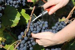 Grape Harvesting Stock Photos