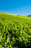 Grape harvesting with tractor, Beaujolais, France Royalty Free Stock Images