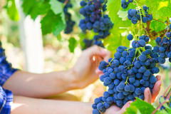 Grape harvesting in a vineyard in Kakheti region, Georgia. Woman. 's hands Close up. Harvesting the grapes theme stock images