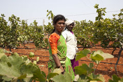 Grape harvesting in a vineyard for making wine. Bangalore, Karnataka, India - March 25, 2010: Portrait of a people harvesting grapes in a vineyard for wine stock image