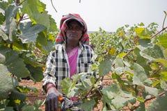 Grape harvesting in a vineyard for making wine. Bangalore, Karnataka, India - March 25, 2010: Portrait of a women harvesting grapes in a vineyard for wine stock image