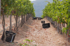 Grape harvesting in the vineyards at Stellenbosch Royalty Free Stock Images