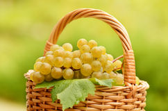 Grape harvesting Royalty Free Stock Photos
