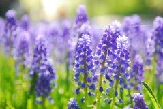Grape hyacinth. Blue grape hyacinth or 'muscari armeniacum' with shallow dof in dutch spring garden 'Keukenhof', Holland Royalty Free Stock Photos