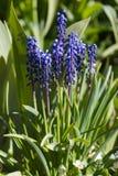 Grape hyacinth Royalty Free Stock Images