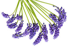 Grape Hyacinth. Purple blue grape hyacinth flowers isolated on white Stock Image
