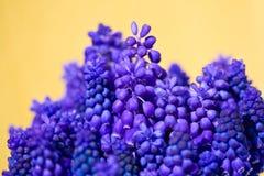 Grape hyacinth Royalty Free Stock Photography