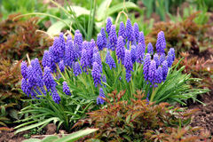 Free Grape Hyacinth Stock Photography - 13996042