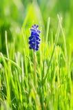 Grape Hyacinth. Muskari flower (Grape Hyacinth) in the grass backlit Stock Photos