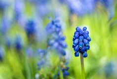 Grape Hyacinth Royalty Free Stock Images