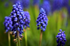 Grape Hyacinth. A closeup of Grape Hyacinth in spring, with exceptional lighting to bring out the color and texture stock photo