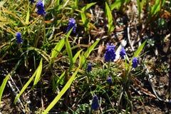 Grape hyacinth. Beautiful flower of blue purple `Grape hyacinth Royalty Free Stock Image