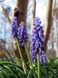 Grape Hyacinth Bells Stock Photography