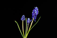 Grape Hyacinth on black Stock Photos