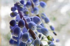 Grape hyacinth in bloom. Macro shot of a grape hyacinth flower in bloom Stock Image