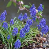 Grape hyacinth Stock Image