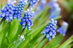 Grape hyacinth. Blue grape hyacinth  on blur background Royalty Free Stock Photos