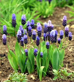 Grape hyacinth blue and pink. Muscari armeniacum - Grape Hyacinth in early springtime blosoom in pink colors Stock Photo
