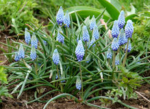Grape hyacinth blue and pink Stock Photos