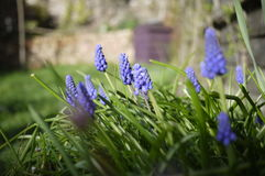 Grape Hyacinth blue spring English flower Stock Photography