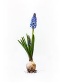 Grape hyacinth with bulb. Single grape hyacinth with bulb isolated on white background Stock Photo