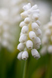 Grape Hyacinth Bulbs (Muscari) close up. White Grape Hyacinth Bulbs (Muscari) close up on green blurred background royalty free stock photography