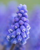 Grape Hyacinth close up. Spring flower Grape Hyacinth close up in portrait format on blurry violet background Stock Photos