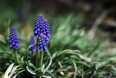 Grape Hyacinth Cluster stock images