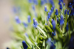 Grape hyacinth, decorative Muscari flowers at spring time. Low depth of focus image Royalty Free Stock Photo