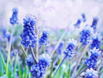 Grape hyacinth, decorative Muscari flowers at spring time. Stock Photo