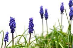 Grape hyacinth Stock Photos