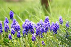 Grape hyacinth flower Stock Photo