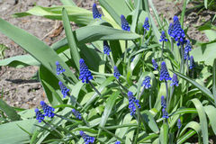 Grape hyacinth flower Royalty Free Stock Image