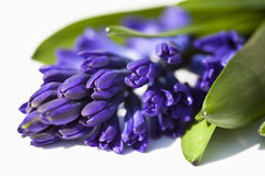 Grape Hyacinth Flower, close up Stock Image