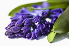 Grape Hyacinth Flower, close up Stock Image