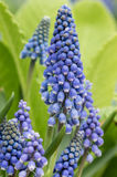 Grape hyacinth in flower with green background Royalty Free Stock Image