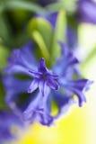 Grape Hyacinth Flower (Hyacinthus), close-up Royalty Free Stock Photos