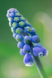 Grape Hyacinth Flower Stock Images