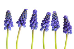 Grape-hyacinth Flower Stock Photography