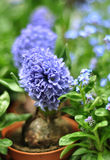 Grape hyacinth in a flower pot. Blue grape potted hyacinths in the greenhouse.  Shellow DOF, focus on front flower Royalty Free Stock Image