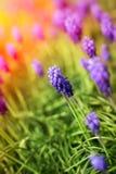 Grape hyacinth flowers Royalty Free Stock Image
