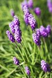 Grape hyacinth flowers Royalty Free Stock Photography