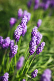Grape hyacinth flowers Stock Image
