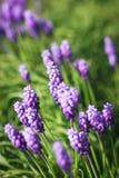 Grape hyacinth flowers Royalty Free Stock Photo